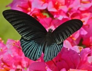 Papilio memnon m 3