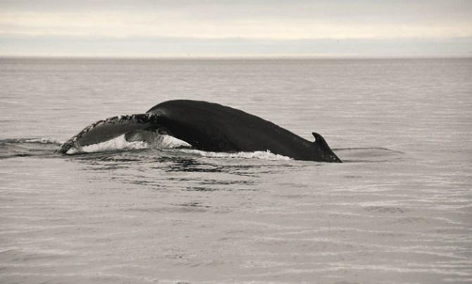 Tadoussac: baleine à bosse 3