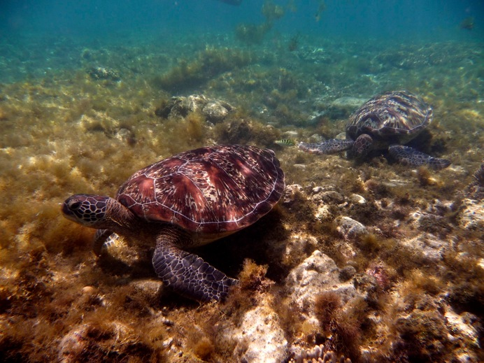 Les philippines: Tortues