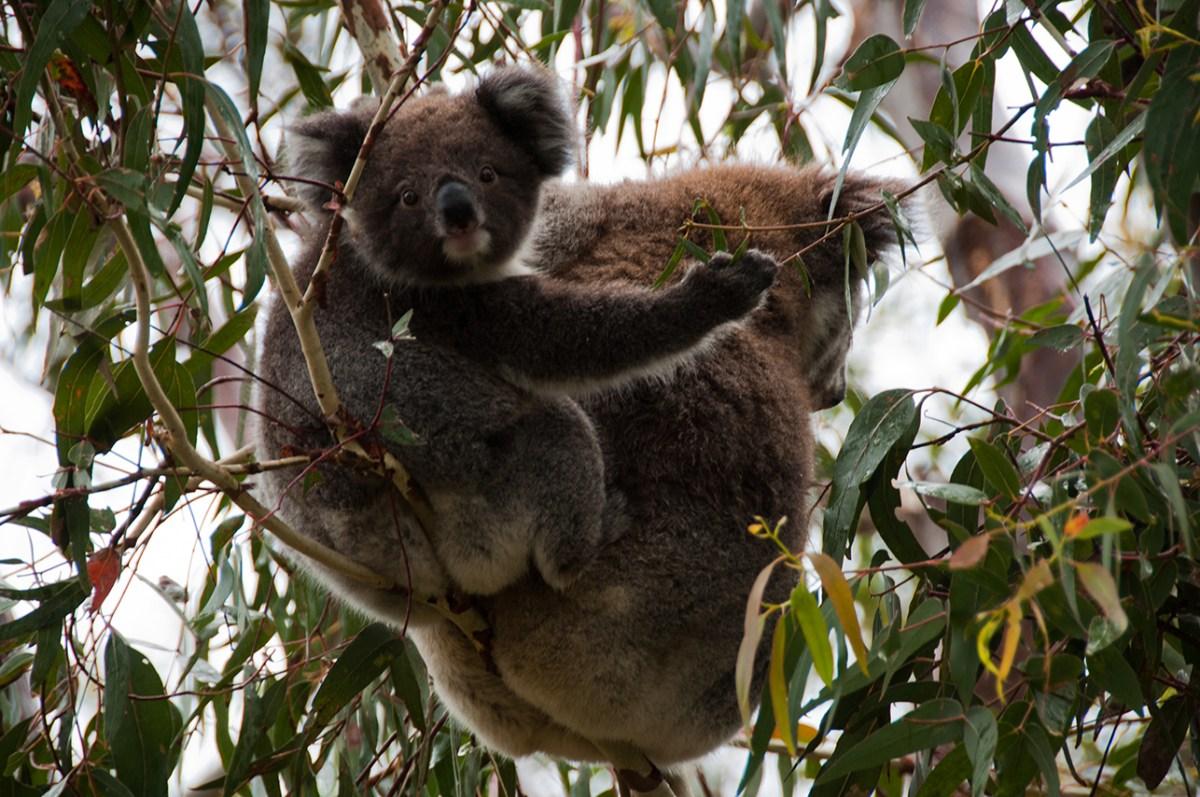 Koalas bébé