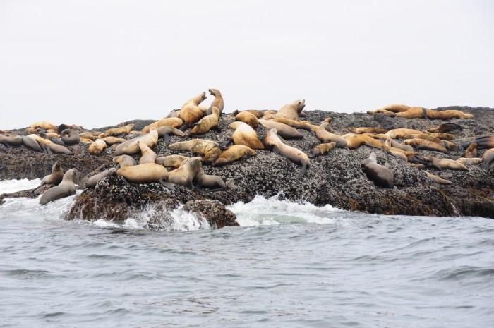 phoques canada