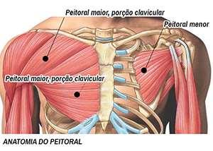 Músculo Peitoral Exemplo de Treino de Peito para Iniciantes