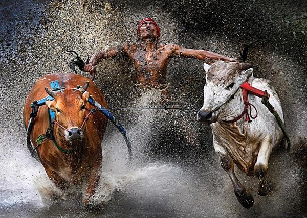 Wyścigi byków - Pacu Jawi Fot.Wei Seng Chen