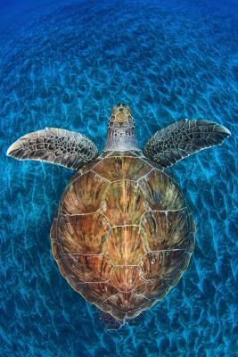 Żółwi klejnot, fot.Jordi Chias (Hiszpania)