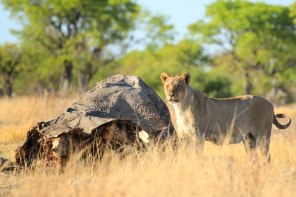 Lion with elephant carcass