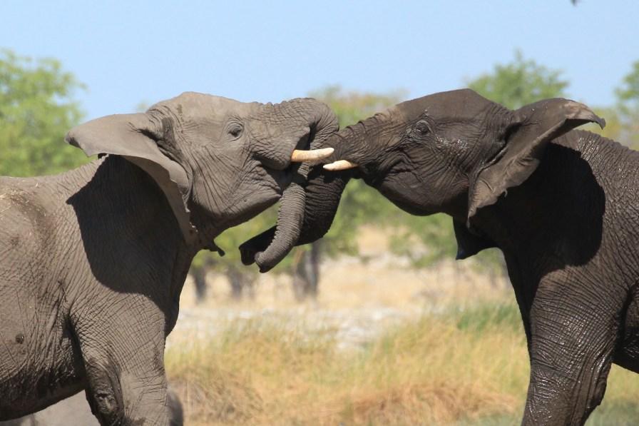 Elephant in Etosha water hole