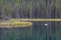 Beaver Horseshoe Lake with branch