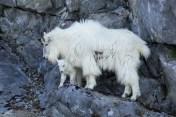 Mountain goats glacier Bay