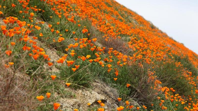 California poppies Kern county