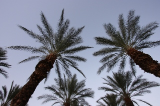 California Palm Trees in the Desert