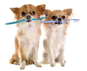 chihuahua brushing teeth