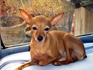 deer chihuahua