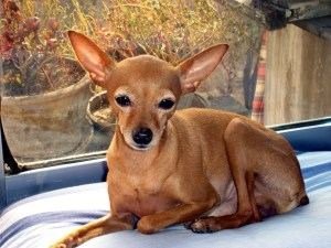 Different types of Chihuahuas - Deer, Apple, Fawn, Teacup