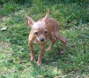 Different types of Chihuahuas - Deer, Apple, Fawn, Teacup, long & short