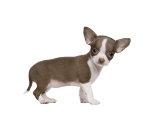 chihuahua litter