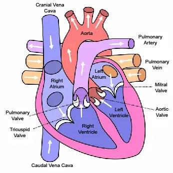 Chihuahua heart diseases