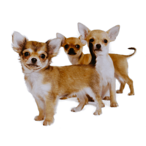 buying chihuahua puppies