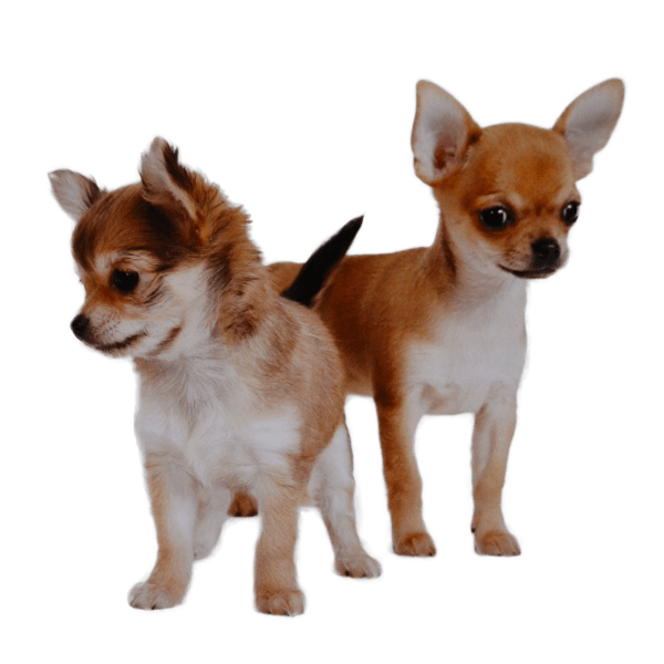 different types of chihuahuas deer apple fawn teacup long short
