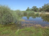 yarra creek06 lignum