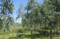 red gum saplings from 2011 have put on a growth spurt