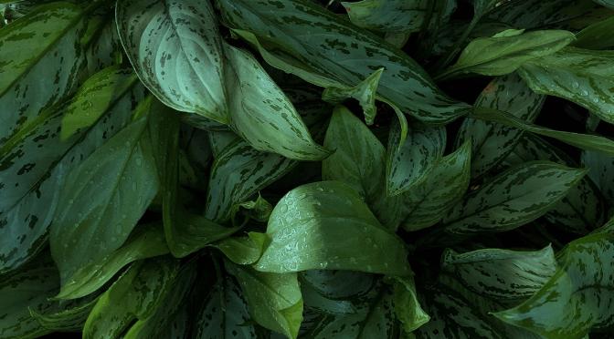 photo of dieffenbachia leaves