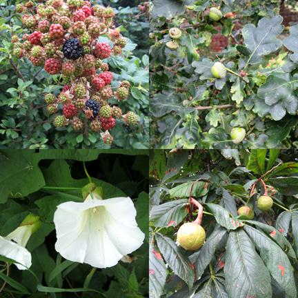 acorn, conker, convululus, blackberry