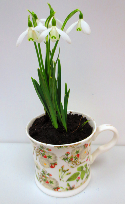 Snowdrops planted in a cup