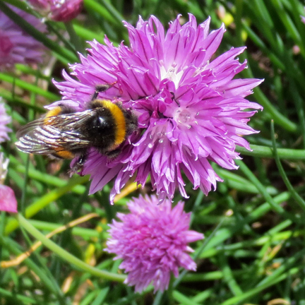 chive flower and bee