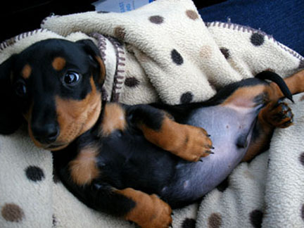 Higgins Mini dachshund in spotty blanket