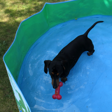 mini dachshund in paddling pool