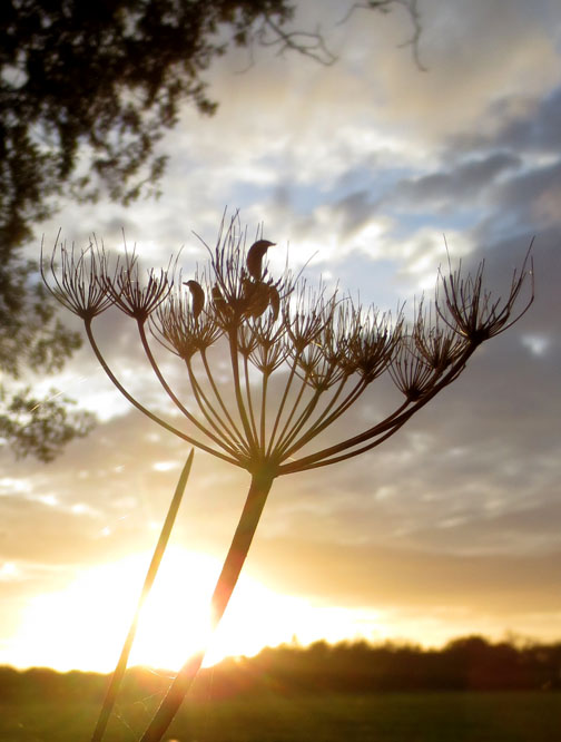 seedhead and Norfolk Sky
