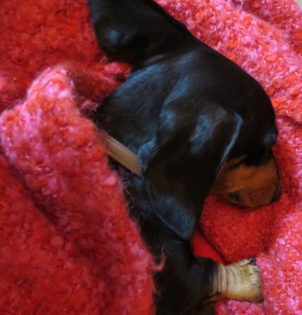 dachsie in a blanket