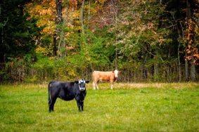 Cows princeton Herrontown