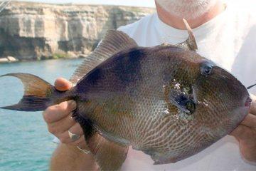 species ID trigger fish