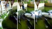 Guy Falls In Alligator Pool After Rope Swing Goes Wrong