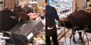 3 Cows Broke Into A Grocery Store and Start Eating All The Vegetables