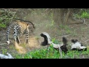 Honey Badger Rescues Her Baby from Leopard