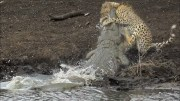 Nature Is Wild: Crocodile Catches The World's Fastest Land Animal, Cheetah, Lackin' Trying To Drink Water!