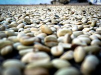 Travel Photo: Honduras - Coffee Beans (Cafe Pergamino Seco) From Finca El Cisne