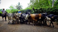 Travel Photo: Honduras - Cattle Crossing in Finca El Cisne