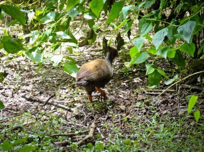 Orange Footed Scrub Fowl