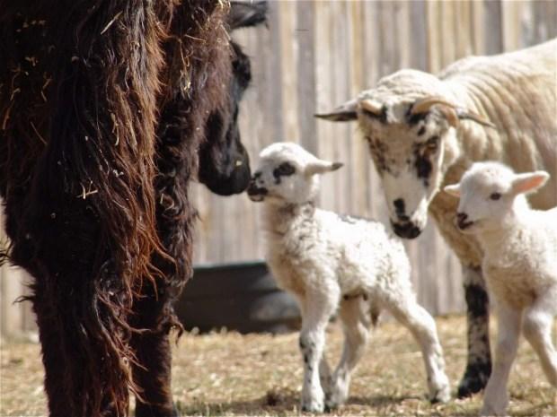 Baby Lamb Meets Mama