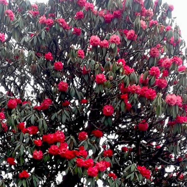 QUAD_rododendre florit wtspp