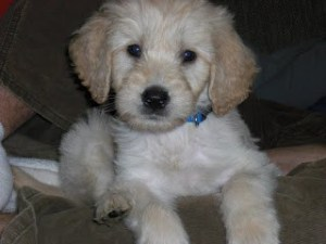 Picture of Benny as a puppy