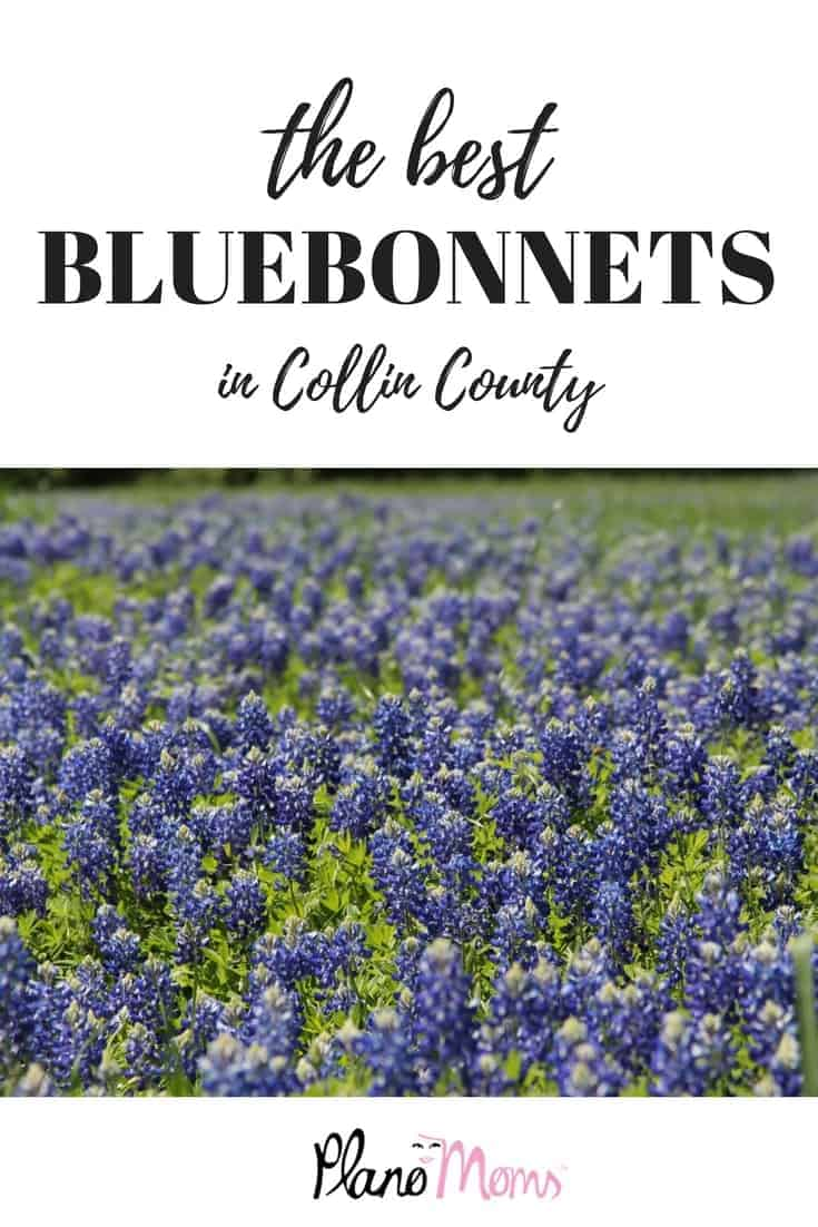 The best bluebonnets in Collin county area to take pictures with your kids