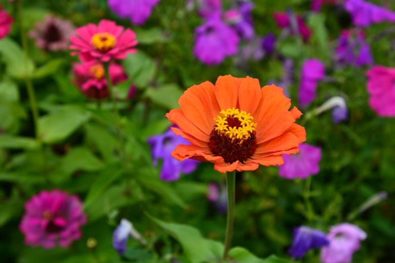 zinnia flower garden