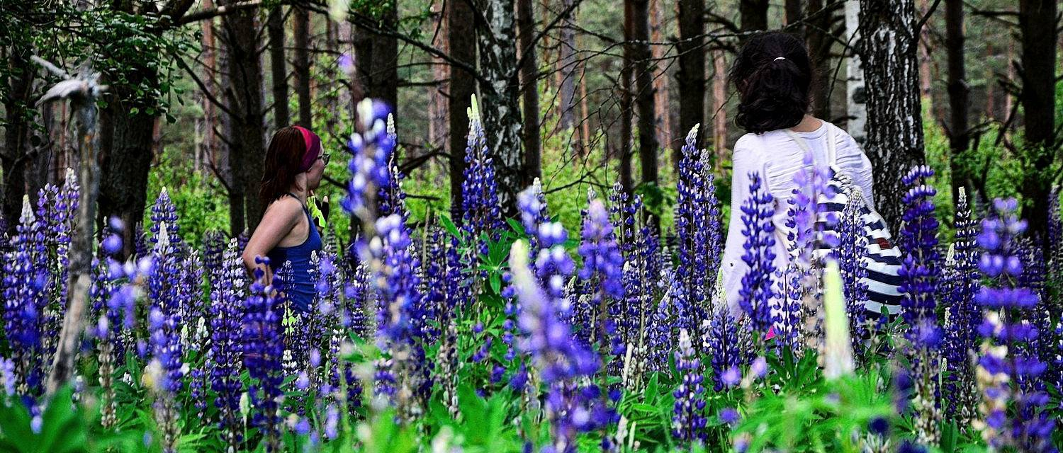 podlasie lupin blue flowers in poland