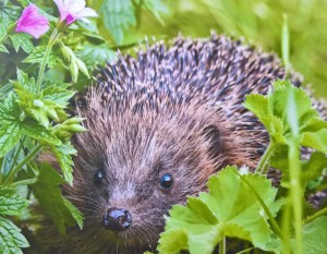 Hedgehog edited Goostrey