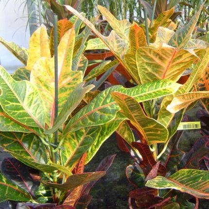 Tarka kroton szobanövény kép