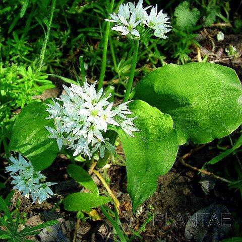 Medvehagyma (Allium ursinum) 0 (0)